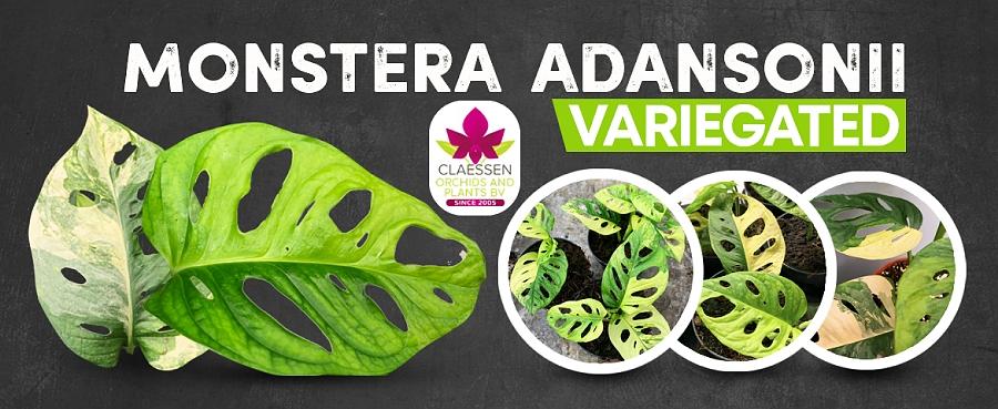 Monstera adansonii variegated