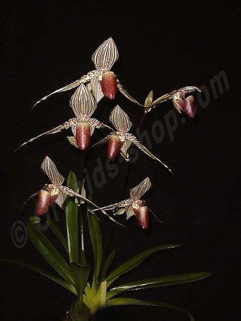 Paphiopedilum rothschildianum ''Big''