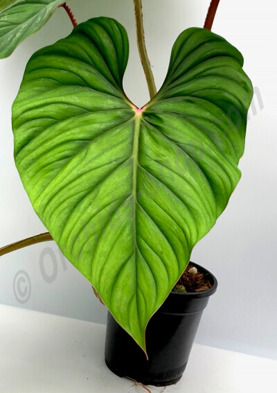Philodendron plowmanii ''Big Plant''