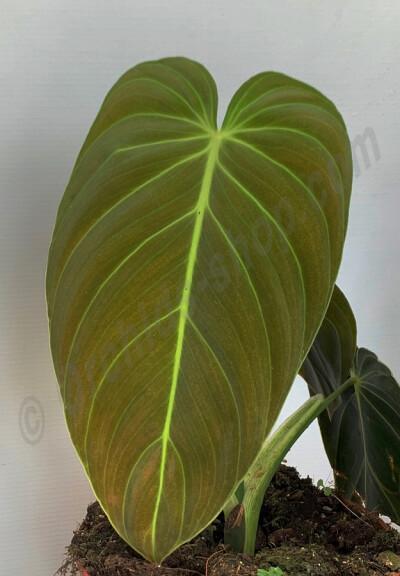 "Philodendron melanochrysum ''6  Leaves"""