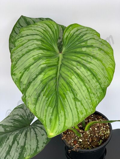 Philodendron mamei ''Big Plant''