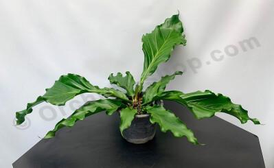 """Anthurium """"Plowmanii"""""""