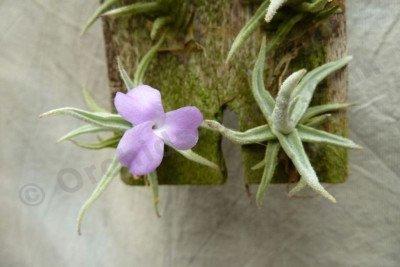 """Tillandsia paleacea """"Mini"""""""