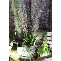 Eulophia Quartiniana ''Big plant''