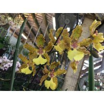"Oncidium Lillian Oka ""Big Plant"""