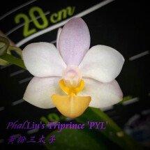 "Phalaenopsis Liu's Triprince ""Yellow Lip"""
