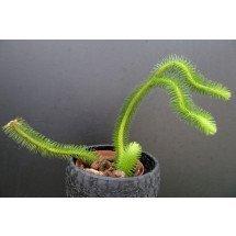 Lycopodium squarrosum