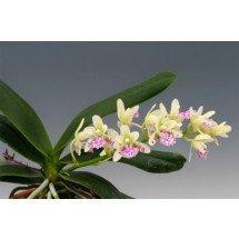 """Sedirea japonica """"Big"""""""