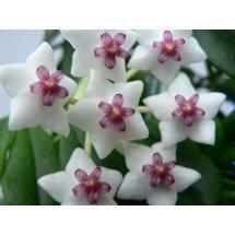 Hoya bella ''Big plant''