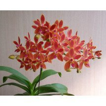 Phalaenopsis equestris x Renathera storiei