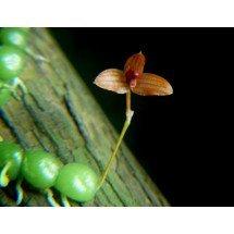 Bulbophyllum moniliforme