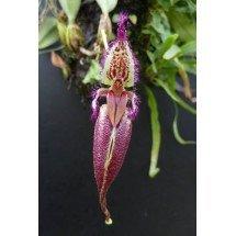 Bulbophyllum (Mastigion) fascinator