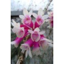"""Dendrobium lawesii """"White Pink"""""""