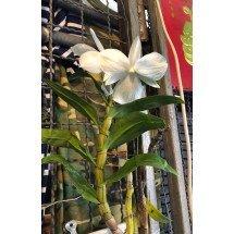 "Dendrobium formosanum f petaroid ""Jiaho"" SM/TOGA x SELF"