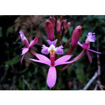 Epidendrum secundum var. variegata