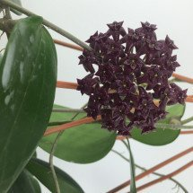 Hoya purpureo-fusca