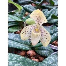 """Paphiopedilum concolor """"Big"""""""