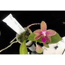 """Phalaenopsis I-Hsin Brooklyn """"limited edition"""""""