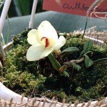 """Dendrobium cuthbersonii """"White"""""""