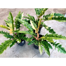 """Philodendron """"Ring Of Fire"""" """"Big Leaves"""""""
