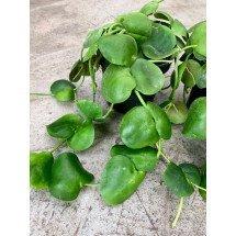 Dischidia platyphylla (Mierenplant)
