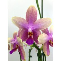 """Phalaenopsis Liodoro """"Big"""""""