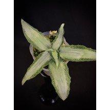 Aspidogyne argentea