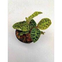 Macodes petola (1 plant per pot)
