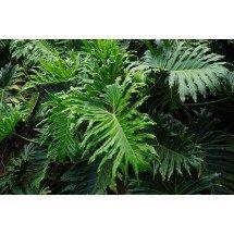 Philodendron Selloum ''BIG Gigantic XXL Plant''