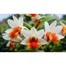 Dendrobium Jiaho Candy ''Big Compact plant''