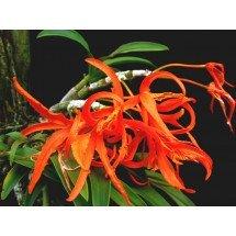 Dendrobium lamyaiae