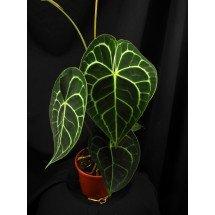 Anthurium clarinervium (Imported plant)