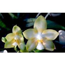 Phalaenopsis Yungho Gelb Canary