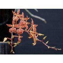 "Renanthera monachica ""Compact Type"""