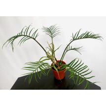 Philodendron tortum (XXL Big Plant)