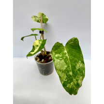 Philodendron Burle Marx Variegata (4 to 6 leaves Small Plant)