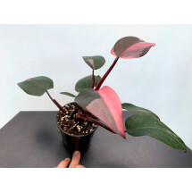 Philodendron Pink Princess ''Almost Full Moon'' (4 leaves)