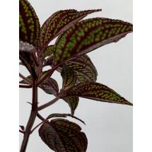 Sonerila margaritacea (Dark Leaves)