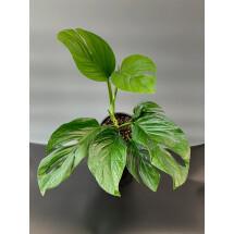 Monstera Pinnatipartita  ''Big Plant''