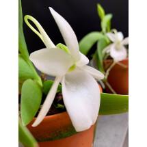 Angraecum leonis ''Big Plant''