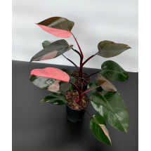 Philodendron Pink Princess ''Half Moon''