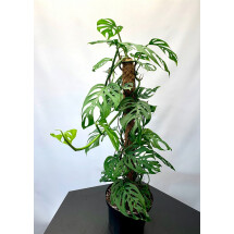 Monstera acuminata (Guatemala) ''Big Plant on 80 cm mosstok''