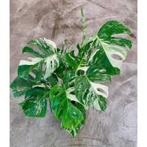 Monstera Variegata  (6 leaves)