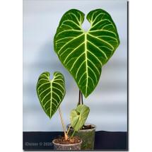 Anthurium Regale (Small plant)