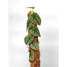 Monstera Dubia ''small plant''