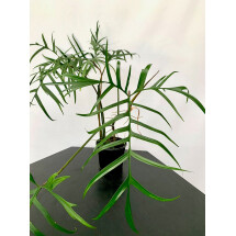 """Philodendron polypodioides """"Brasilien"""" Small type"""