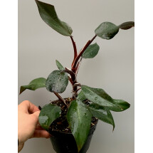 Philodendron Black Knight