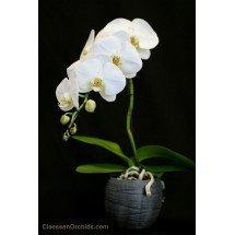 Phalaenopsis Formidablo No.9 (Big Flower) (Met keramiek grijze pot)