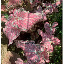 """Caladium hortulanum """"Thai Beauty''"""