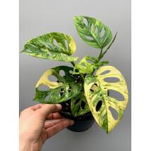 Monstera adansonii variegated aurea nr 4  (7 + Leaves)